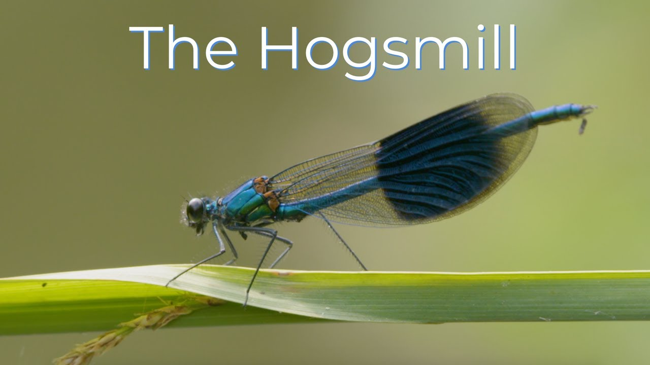 The Hogsmill